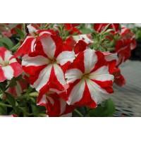 بذور زهرة البيتونيا احمر مخطط