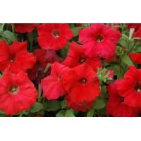 بذور زهرة البيتونيا الحمراء
