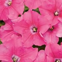 بذور زهرة البيتونيا الوردية