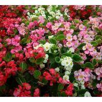 بذور زهرة البيجوانيا