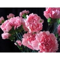 بذور زهرة القرنفل الوردية
