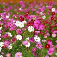 بذور زهرة القسموس الياباني