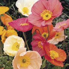 بذور زهرة امابولا