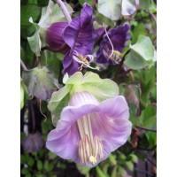 بذور زهرة كوبيا