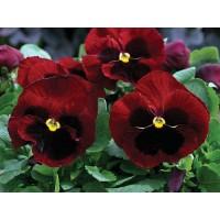 بذور زهور الثالوث الاحمر(البانسيه)