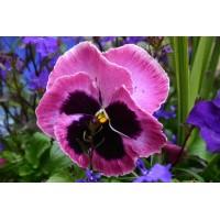 بذور زهور الثالوث بنفسجي (البانسيه)