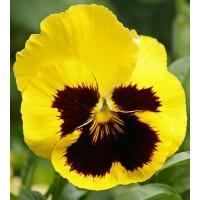 بذور زهور الثالوث اصفر (البانسيه)