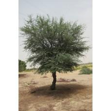 بذور شجرة اكاسيا ارابيكا (طلح عربي)