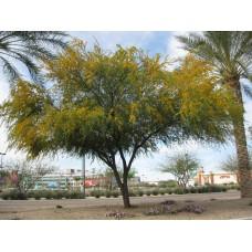 بذور شجرة اكاسيا فرنسيانا