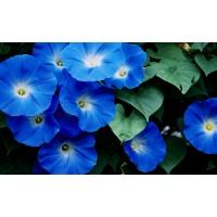 بذور مجد الصباح ازرق  Blue Morning Glory