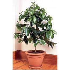 بذور شجرة قهوة ارابيكا قزمية (داخلية)