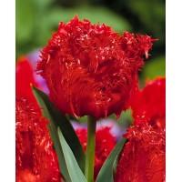 بصيلات توليب احمر كريستال Crystal Beauty