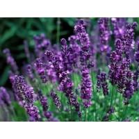 بذور اللافندر الإنجليزي Lavender Heirloom
