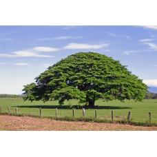 بذور شجرة انترلوبيوم