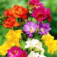 بصيلات وردة الفريزيا منوعة (زهرة العروس)