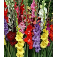 بصيلات الجلاديولا منوع Super Gladiolus