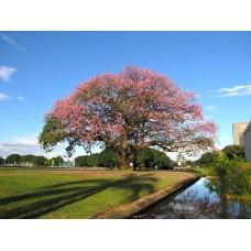 بذور شجرة الكوريزيا