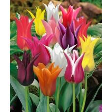 توليب منوع زنبقي 10 بصيلات Lilyflowering