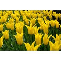 بصيلات توليب اصفر زنبقي Lily Flowering
