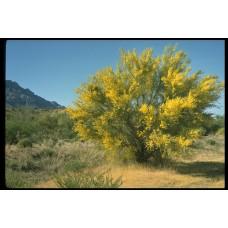 بذور شجرة الباركنسونيا