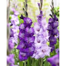 بصيلات  البنفسجية Purple Sky