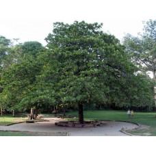 بذور شجرة الترمناليا Terminalia