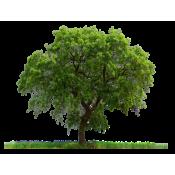 بذور اشجار (32)