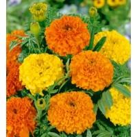 بذور ازهار القطيفة (Marigold)