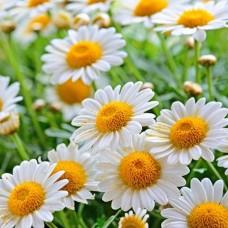 بذور زهرة البابونج