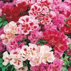 بذور زهرة الجوديتيا