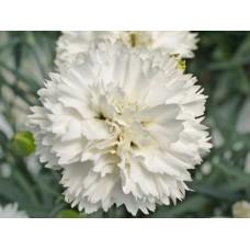 بذور زهرة القرنفل ابيض