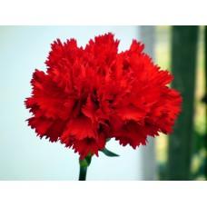 بذور زهرة القرنفل الحمراء