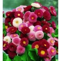 بذور زهرة بيليز بومبينيتو خليط