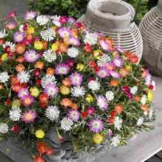 بذور زهرة مسمبرنثيموم السجاد السحري