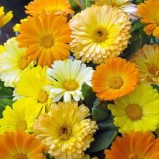 بذور زهرة كالنديولا مزدوجة (اقحوان)