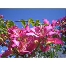 بذور شجرة البوهينا Bauhinia