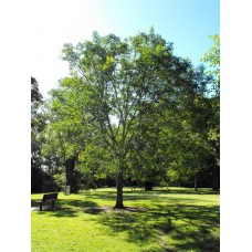 شجرة بردكين - بلوجينيوم Pleiogynium Timorense
