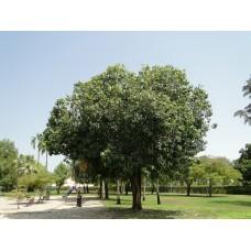 بذور شجرة فيكس لسان العصفور