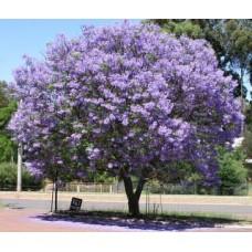 بذور شجرة الجاكرندا Jacaranda