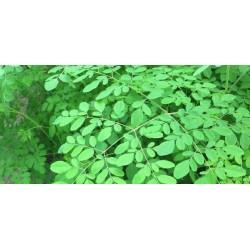 تعرف على شجرة المورينجا و طريقة زراعتها و فوائدها