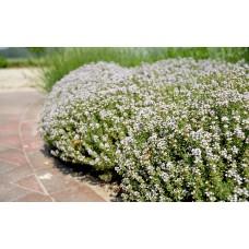 بذور زعتر عضوي هيرلوم Thymus vulgaris