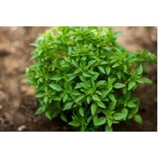 بذور ريحان اخضر رفيع الورق (حبق)