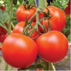 بذور طماطم F1