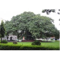 بذور شجرة التين البنغالي (فيكس بنغالي)