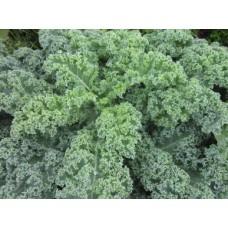 كيل عضوي هيرلوم Cabbage Curly Kale