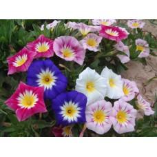 زهرة الكونفولفيولس ثلاثي الالوان