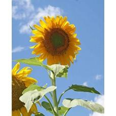 بذور دوار الشمس الكبيرة عضوي MAMMOTH SUNFLOWER Organic Heirloom