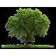 بذور اشجار